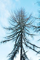 Snow-covered tree, low angle view