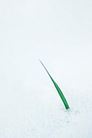Blade of grass emerging from snow