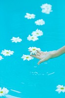 Daisies floating on surface of water, woman´s hand picking up flower