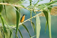 Kingfisher (Alcedo atthis), Spain