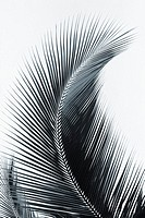 Palm frond curved upward towards sky black and white photograph
