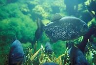pirana fish, zurich, switzerland