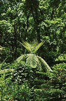 rare plants , tree fern , living fossil , india