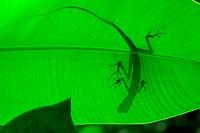 Lizard on a leaf, Malaysia