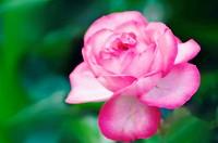 Pink Rose. Rosa hybrid. April 2006, Maryland, USA