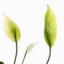 White Peace Lilies