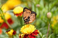 Butterfly orange and black on yellow marigold flower. Malawi