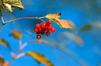 Guelder-rose Viburnum opulus bearing drupe fruit  This shrub is native to Europe and Asia  The fruit is edible in small quantities  Photographed in No...