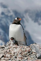Gentoo penguin (Pygoscelis papua) adults and chicks in their breeding and nesting colonies in and around the Antarctic Peninsula. Gentoo penguins are ...