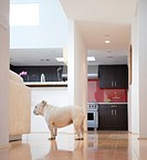 Bulldog Standing near Kitchen