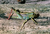 Red-legged grasshopper Melanoplus femurrubrum on wood