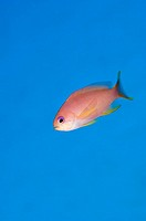 Stocky anthias Pseudanthias hypselosoma  This fish can reach a length of around 19 centimetres and is found in the Indo-Pacific region  It is often se...