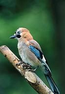 Garrulus glandarius. Jay perched on branch.