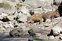 Wild boar piglets Sus scrofa searching for water amongst rocks