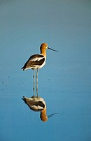 American Avocet (Recurvirostra americana) reflected on calm water