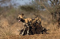 African Hunting Dogs (Lycaon pictus). Kruger National Park, South Africa