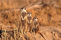 Meerkat (Suricata suricatta) family group. Kalahari-Gemsbok National Park, South Africa