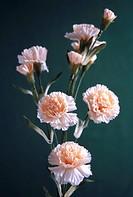 Bouquet , flowers arrangement of Carnation