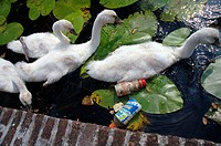 Cygnets (Cygnus olor) growing up amongst rubbish in an urban canal in The Netherlands
