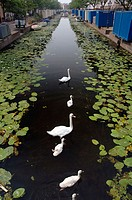 Family of white swans (Cygnus olor) in an urban canal in Leiden, The Netherlands