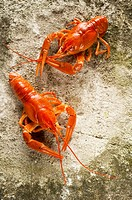 Two cooked freshwater crayfish