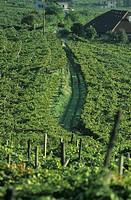 Vineyard near Kaltern Caldaro, S  Tyrol, Italy