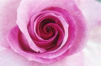 Hybrid tea rose ´Derby Hagen Gmelin´