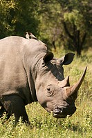White Rhino with Red-Billed Oxpecker Birds