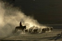 Lonely cowboy driving his flock to a winter pasture in Xinjiang, China