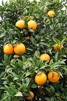 Fresh oranges growing on a tree