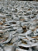 Fish spread for drying at Vizhingam harbour, India