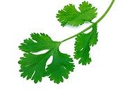 Close up of fresh coriander leaf