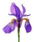 Iris sibirica, Iris - Siberian iris