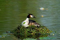 Great Crested Grebe, Podiceps cristatus, May, Germany