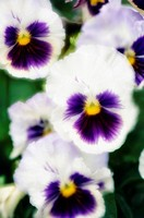 Pansies. Vioa x wittrockiana. June 2006, Maryland, USA