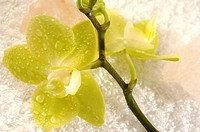 Orchid with salt crystal