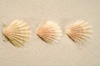 Three shells in the sand