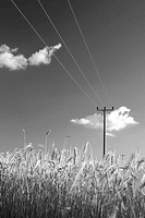 Field of rye and overhead powerline