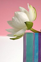 White water lily in a striped ceramic vase (thumbnail)
