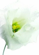 Eustoma