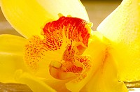 Yellow orchid blossom close up
