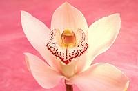 Orchid blossom, Cymbidium