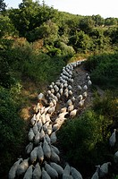 Sheep on a path