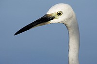 Little Egret (Egretta garzetta), Doñana National Park. Andalucia, Spain