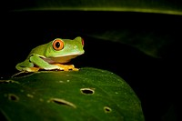 Red_eyed tree frog (Agalychnis callidryas).  Photographed in Costa Rica.