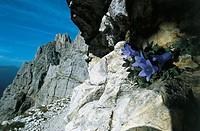 Campanula (Campanula morettiana), Paneveggio-Pale di San Martino Nature Park, Trentino-Alto Adige, Italy.