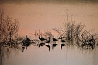 Silhouette of a group of avocets at dusk, Nature Park Of The Po Delta, Veneto Region, Italy