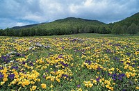 Italy - Lazio Region - Regional Park of the Simbruini Mountains - Mount Tarino - Violet bloom
