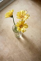 Teransvaal daisy flowers in glass vase, elevated view