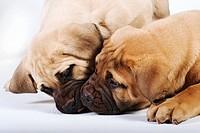 Boerboel canis familiaris pups